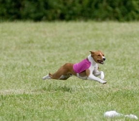 A Basenji Yodeling Breed Information - Wi...